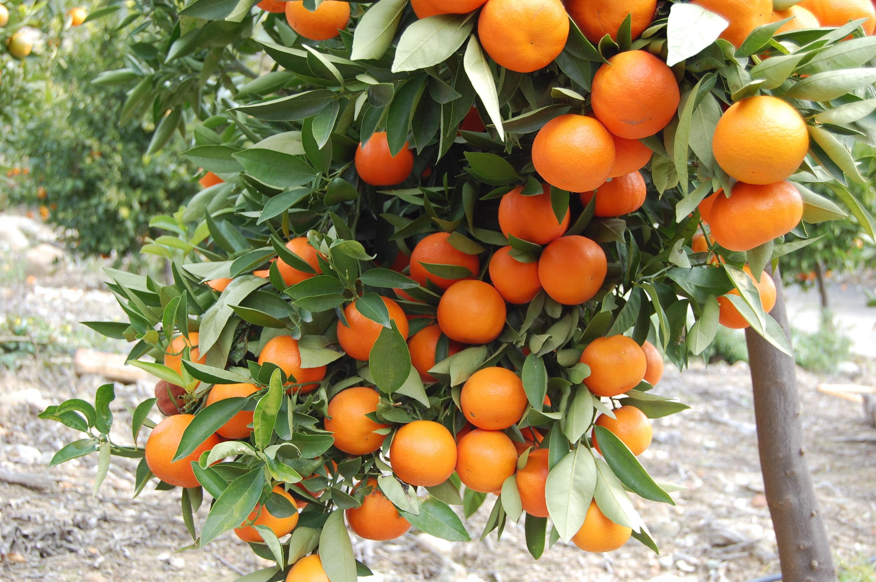 «Πορτοκάλια Λακωνίας» (2)