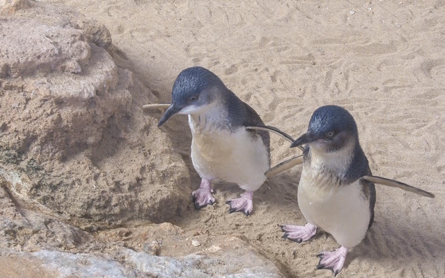 «Australian Penguins» (1)