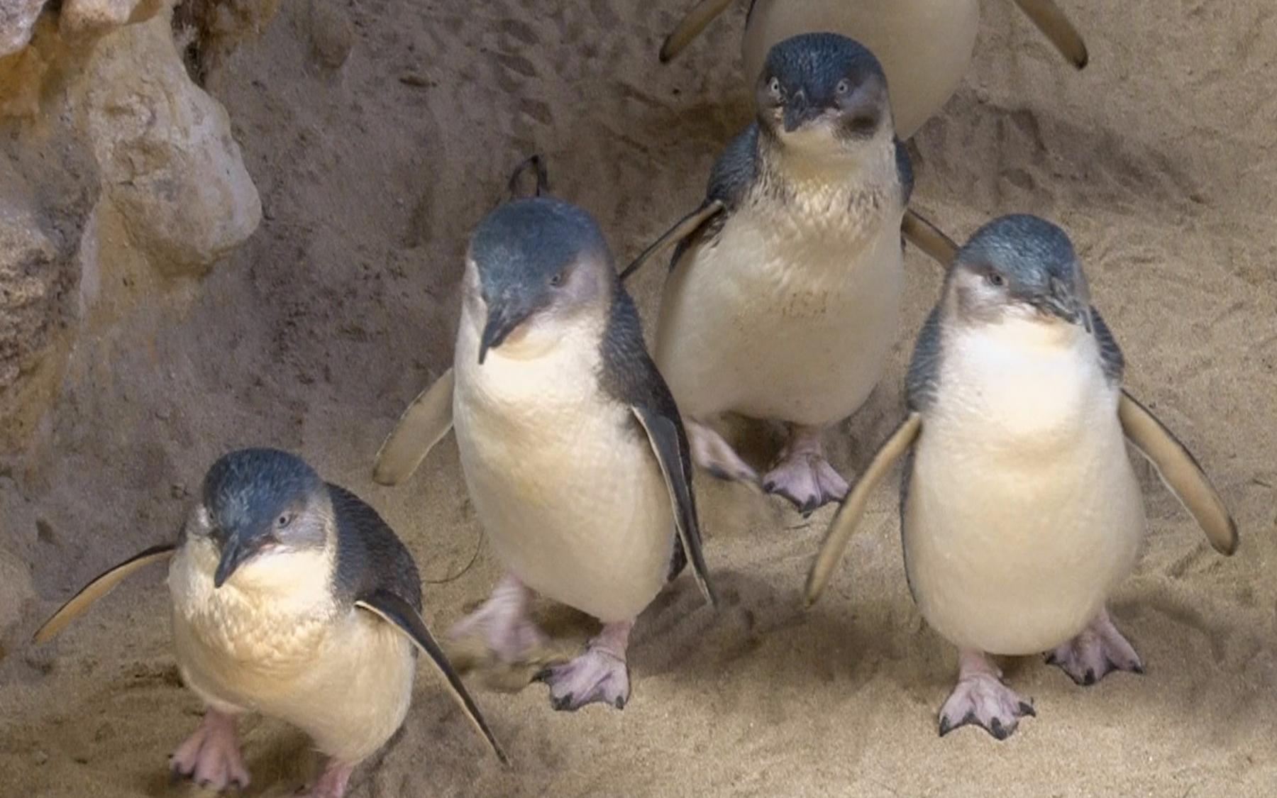 «Australian Penguins» (2)