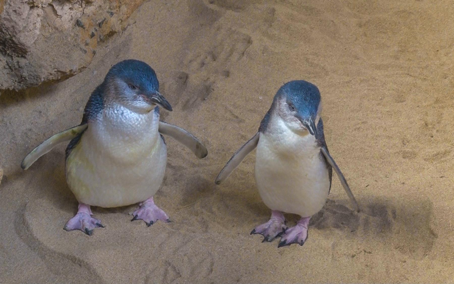 «Australian Penguins» (3)