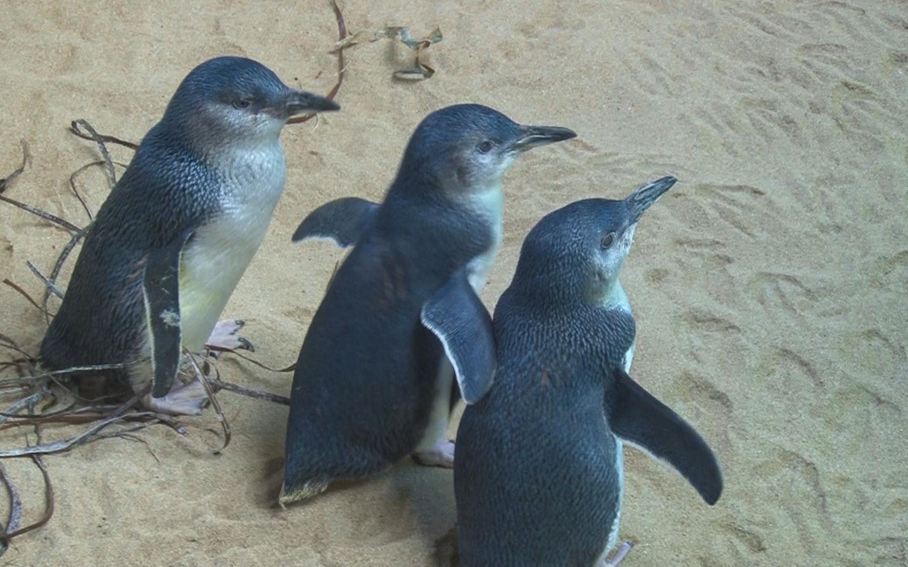 «Australian Penguins»